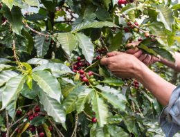 Instability & Uncertainty: The Labor Market For Coffee Pickers