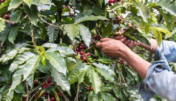 Ser Recolector de Café en un Mercado Laboral Inestable e Inseguro