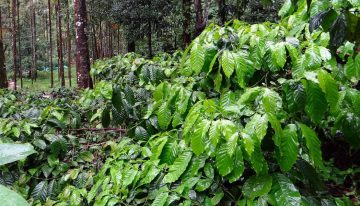 Can Fine Robusta Be Considered Quality Coffee?