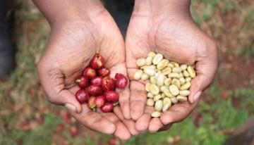 Las Causas de la Brecha Generacional en la Caficultura de Kenia