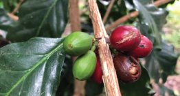 Coffee Producer Debt Is Growing & It's Causing Problems