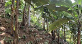 The Benefits & Challenges of Agroforestry For Coffee Farming