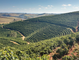 Catuai & Yellow Bourbon: Exploring Brazil's Coffee Varieties