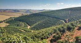 Catuaí y Bourbon Amarillo: Guía a Las Variedades de Café de Brasil